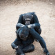 Chimpanzees in the last freedom?