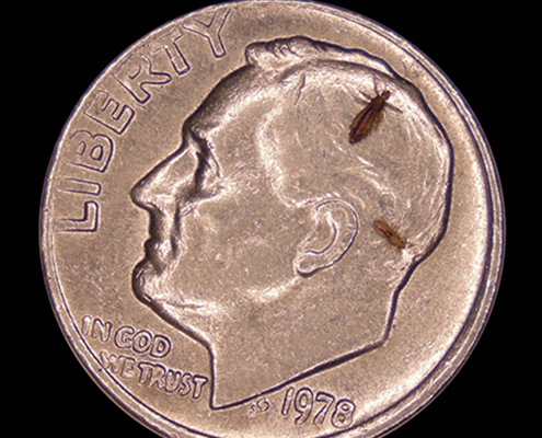 Lice size compared to dime